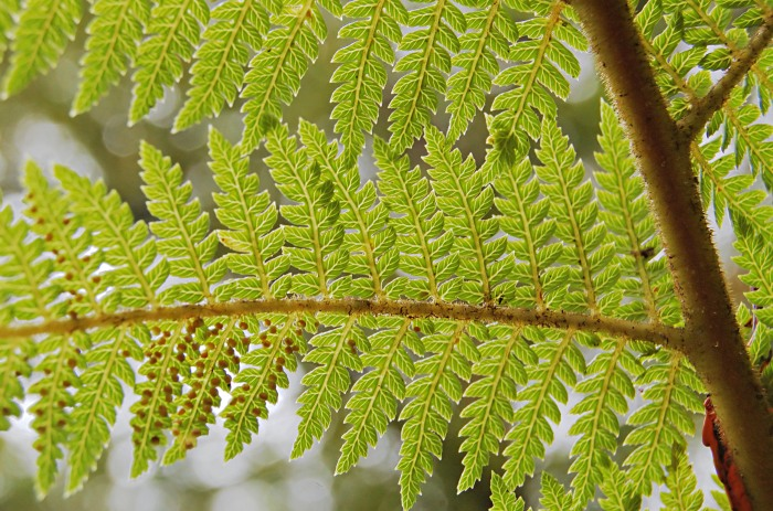 Fern_leaves